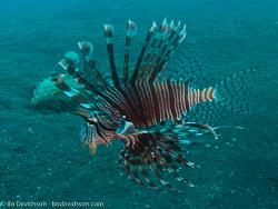 BD-090926-Lembeh-9264027-Pterois-volitans-(Linnaeus.-1758)-[Red-lionfish.-Drakfisk].jpg